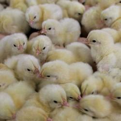allevamenti avicoli